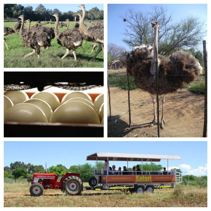 #Tractortour #safari #ostrichfarm, the time of year with chicks and great weather for a visit.