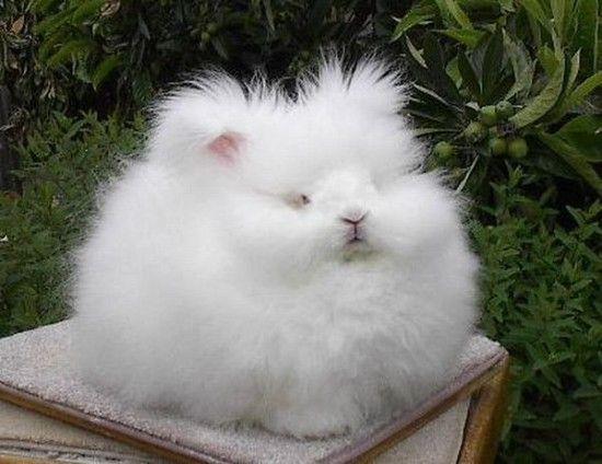 Mira este conejito @rubiasz ~ Angora Rabbit