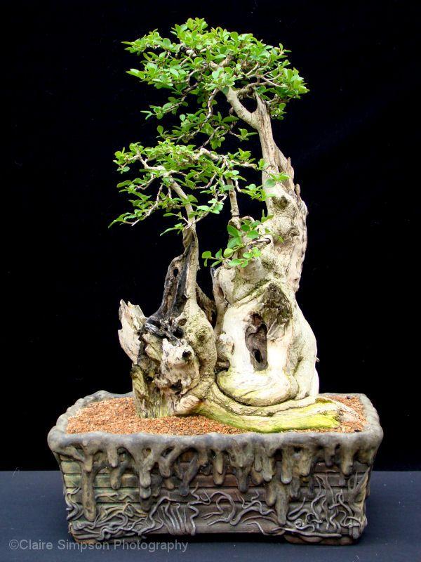 privet bonsai BONSAI More At FOSTERGINGER @ Pinterest