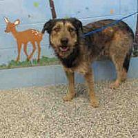 URGENT ON 1/4  KILL SHELTHER!!** San Bernardino, CA - Irish Wolfhound.  for adoption. https://www.adoptapet.com/pet/20374020-san-bernardino-california-irish-wolfhound-mix