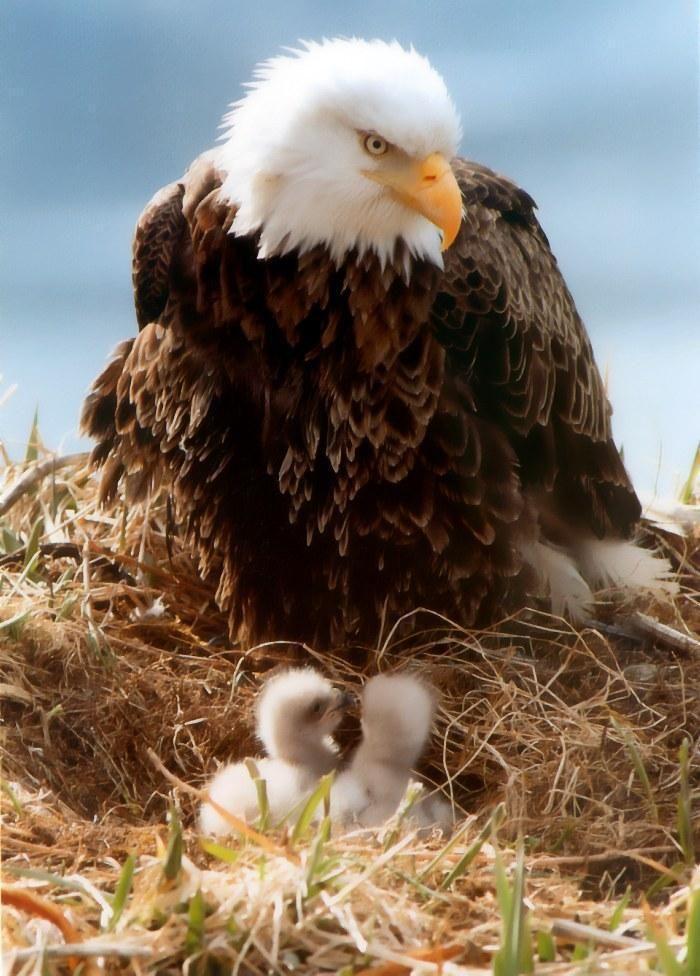 фото птенца орла