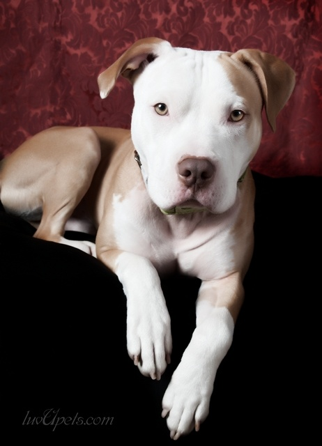 To anyone that said Ava wasn't full bred pit, this one could literally be her twin. Just because she's nice doesn't mean she can't be pitbull.