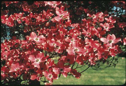 Cherokee Chief Flowering Dogwood - Monrovia - Dogwood