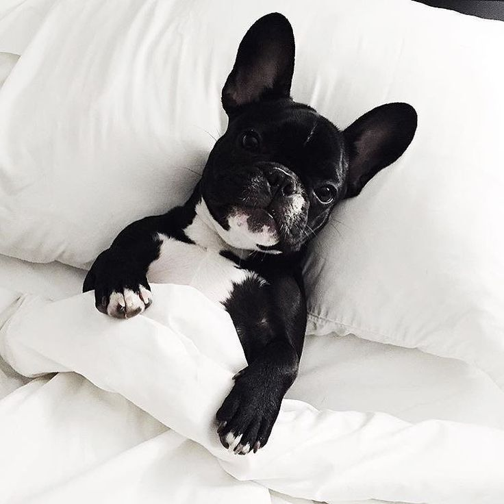 """I vant to be alone - unless you have chicken or bacon"", Harley, the spoiled French Bulldog Puppy, via @harleyandco_ on Instagram"
