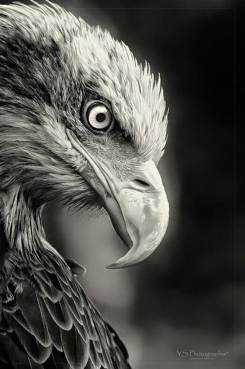 bald eagle  (photo by yves schupbach)  Gorgeous portrait in black and white. A Thank You for this from:  www.loisjoyhofmann.com