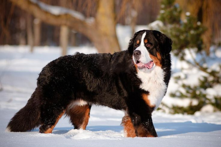 THE BERNESE MOUNTAIN - Akita - Dog Accessories online store,   Find the Best Dog Breeds, Dog breeds medium, dog breeds for kids, dog breeds for kids, puppies cute, puppies training, puppies stuff, popular dog breeds, popular dog breeds, popular dog names puppies, dog breath remedy,  Visit our site for Best Dog Breeds and best Popular Dog Accessories.