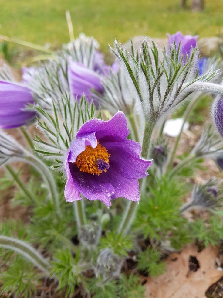 Die Echte Küchenschelle hat blau- oder rotviolett gefärbte, glockenförmige Blüten, mit gelben Staubblättern. Die Blütenblätter sind außen behaart und werden bis zu 4 cm lang. Die Blüten stehen immer einzeln und erscheinen von April - Mai.   #Kuhschelle #lila #Pulsatilla #Pulsatilla pratensis #violett