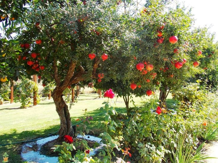 Red Pomegranate Tree for sale | The Planting Tree