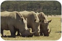 Nairobi Kenya overnight excursion safari tour visiting the Great Rift Valley with the Lake Nakuru National Park and the freshwater Lake Naivasha.  http://www.naturaltoursandsafaris.com/nairobi_kenya_safaris.php