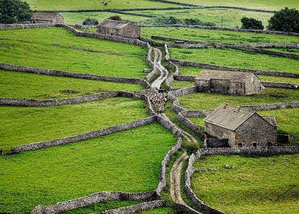 pagewoman:  Moving the flock, Malhamdale, Yorkshire Dales, Englandby Stephen Garnett