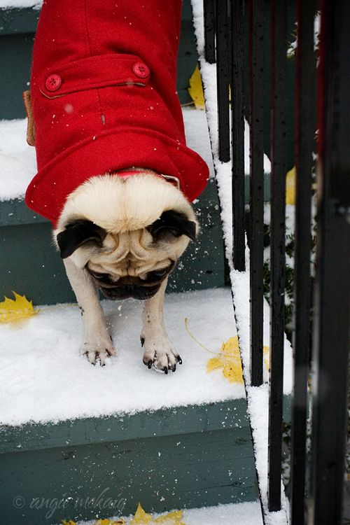 103 Pugs Wearing Little Jackets