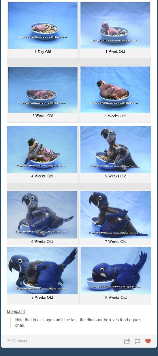 Evolution of a baby hyacinth macaw.