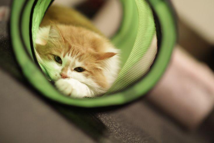 "https://flic.kr/p/aLRVTV | Tunnel cat | Taken at a cat cafe ""Kyariko"" in Shinjuku. Info of the cat: Name: Harumaki Gender: Male Kind: Norwegian Forest Cat  猫カフェ「きゃりこ」新宿店にて 猫さん情報: 名前:はるまき 性別:男の子 種類:ノルウェージャンフォレストキャット  [ Canon EOS 7D, Canon EF 85mm f/1.2L II USM, f/1.2, 1/160sec, ISO500 ]"