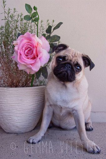 Cute Pug Photo  Cottage Chic Décor Pug Art Animal by Camerallure, $25.00