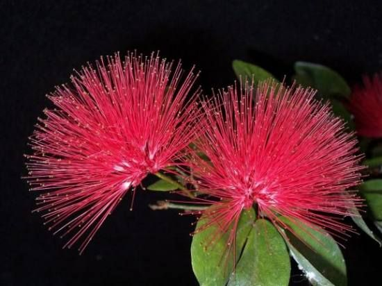 Red Mimosa Tree, Such a cool flower!