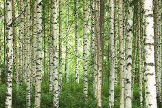Clear Birch Forest