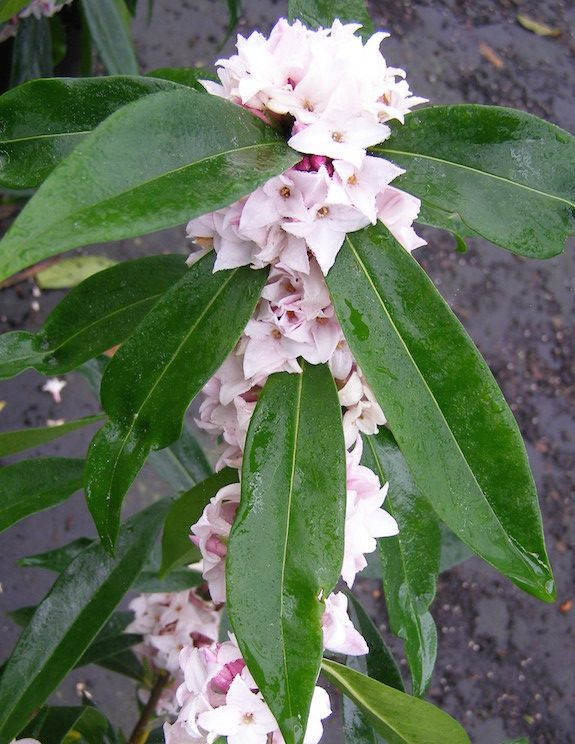 Daphne Perfume Princess Is Loaded With Fragrant Blossoms Great Fragrance Plant For Patio And Garden Planters On In Garden Plants Daphne Flower Fragrant Plant