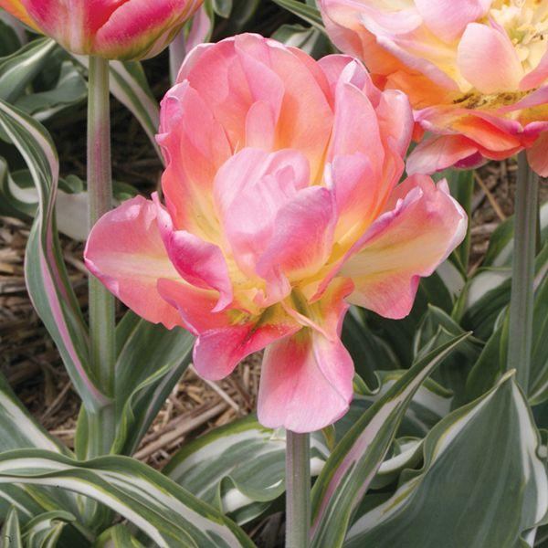 Tulipa - 'Happy Upstar' -  Bulbs for sale  March, Brent & Becky's
