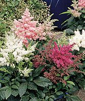 Astilbe, astary mix, z.4-8, part sun, nonstop blooms