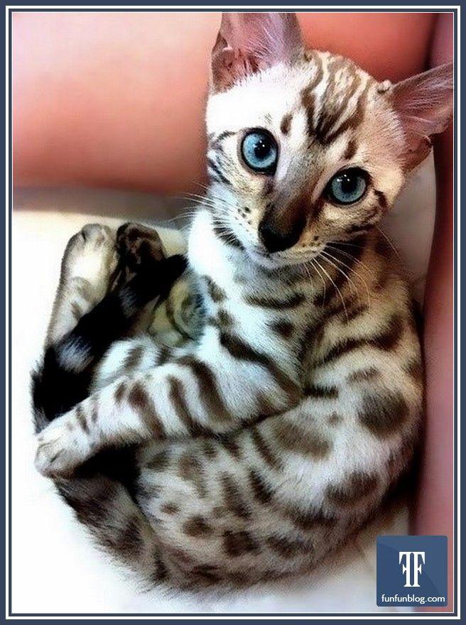 Bengal Cats Sale Florida