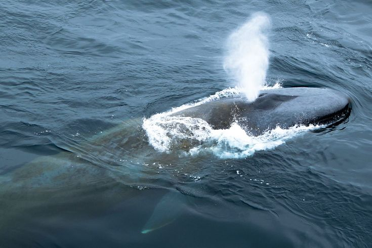 How cool is this Blue whale picture?