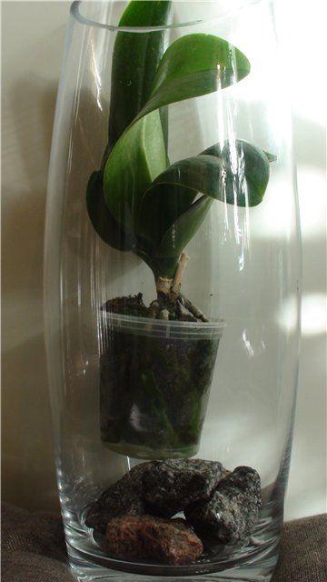 """Орхидеи-малыши довольно капризные создания, и браться за их выращивание """"до взрослого"""" состояния - я бы, если честно, не советовала бы без достаточно большого…"""