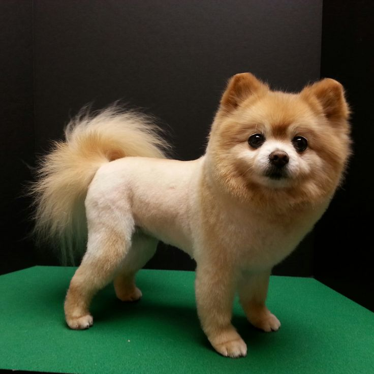 Pomeranian haircut, pom trim, lion trim, lion cut
