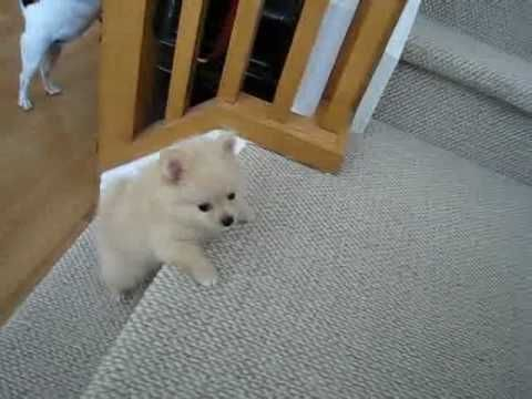 Tiny pomeranian puppy.... trying to climb the stairs so cute