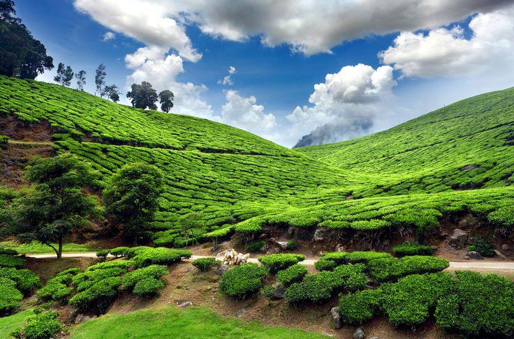 The rolling tea plantations outside of Darjeeling