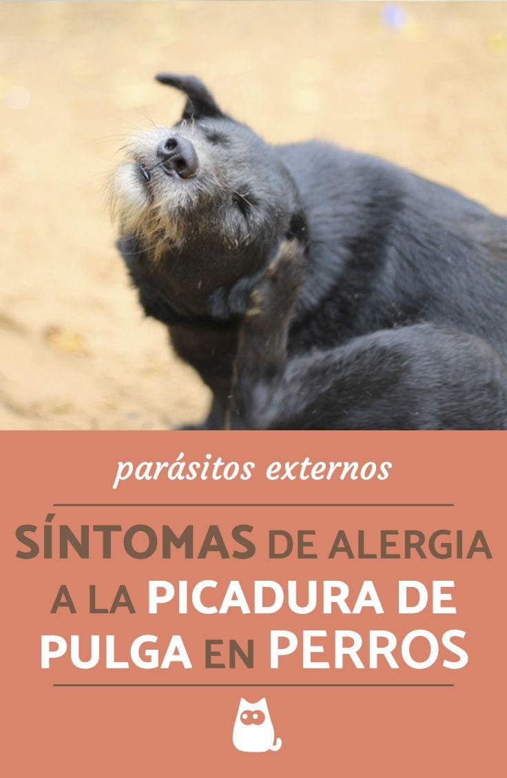 sintomas de la enfermedad de la pulga en perros