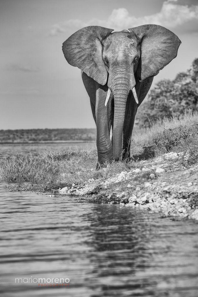 Chobe River Giant - An Elephant walking along the banks of the Chobe River in Botswana.
