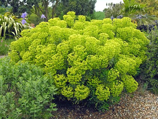 Euphorbia characias subsp. wulfenii, great architectural plant