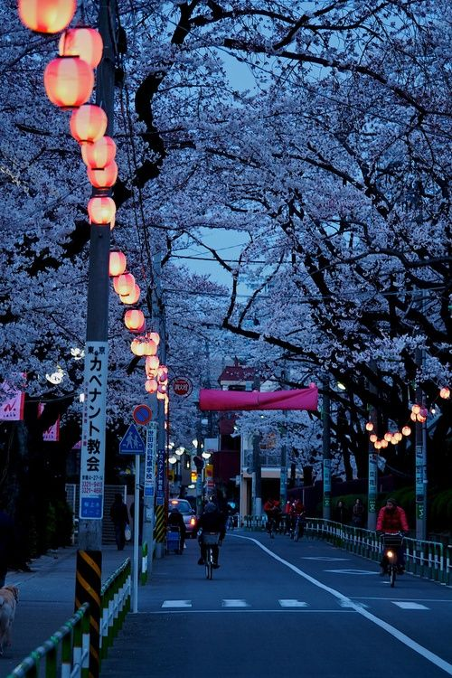 Cherry blossom trees & lanterns add a poetic feel to this city street, which…