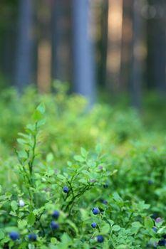 Blåbär och tallstammar ( Blueberries and pine stem )