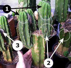 Sacred Cactus, Trichocereus Pachanoi, Peruvianus, San Pedro Cactus.....how to propagate