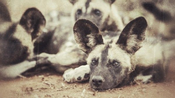 Wild Dog by Andrew Aveley on www.digitalgallery.co.za