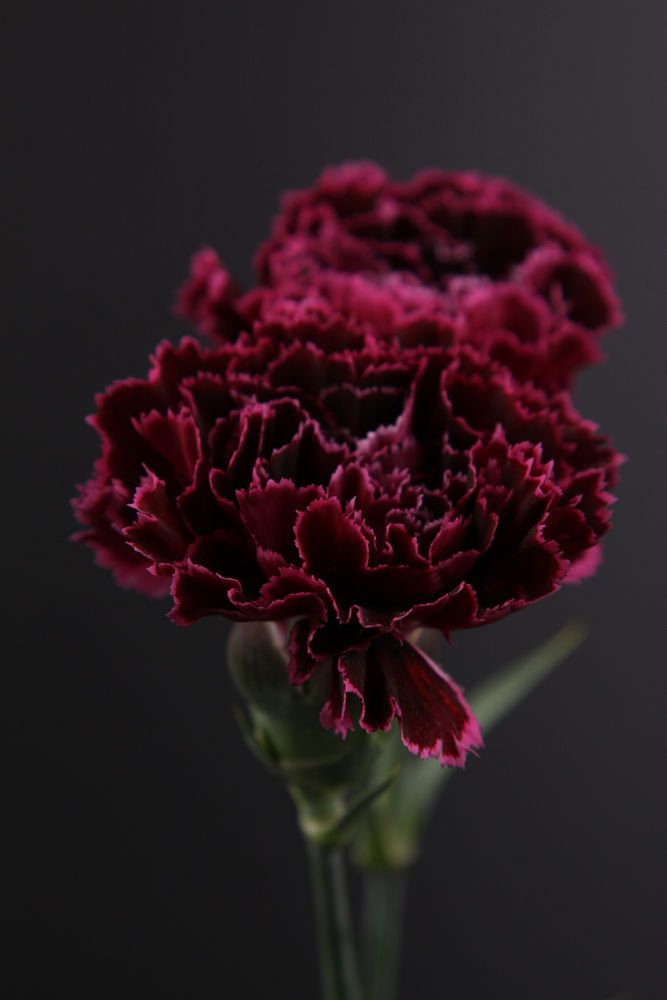 carnation by KIM DONGYOUNG on 500px