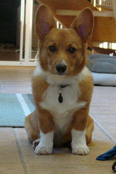 Keep Calm and Corgi On!: Corgi Cuteness, Corgtastic Corgis, Animal Inspiration, Animal Friends, Pembroke Corgis, Keep Calm, Baby Animals