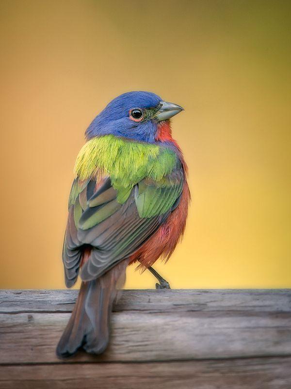 South Carolina Song bird