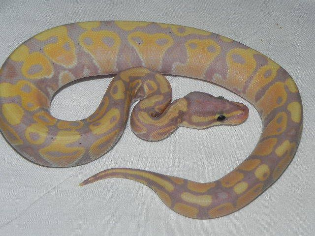 Snakes at Sunset - CORAL GLOW Ball Pythons (male makers) Python regius, $229.99 (http://www.snakesatsunset.com/coral-glow-ball-pythons-male-makers-python-regius/)