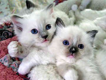 Ragdoll Cat Rescue | Ragdoll kittens, soooo cute!!