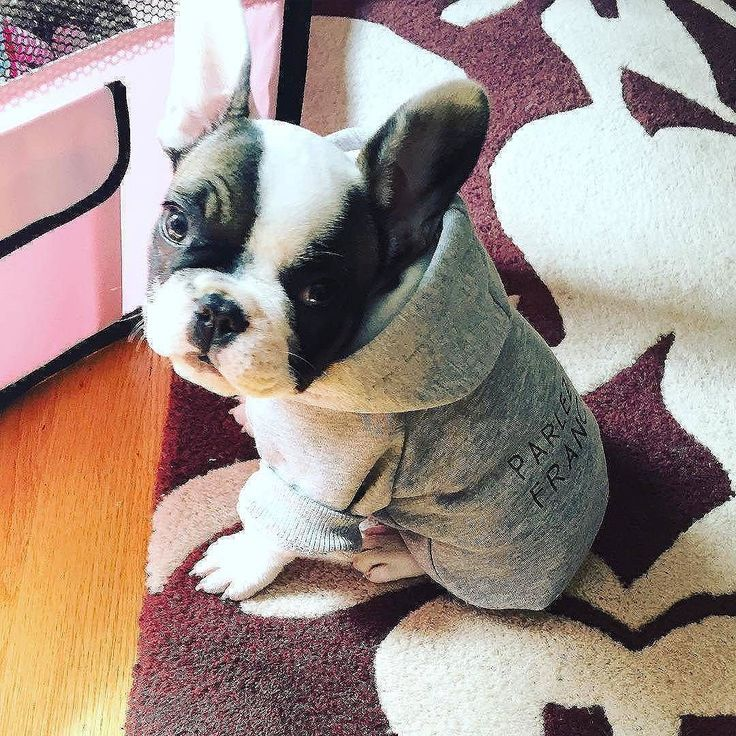 If you want to be featured, email your Frenchie photos to myfrenchie@dogofday.com. All images are copyright of their respective owners. #frenchbulldog #frenchbulldogs #frenchbulldogsofinstagram...