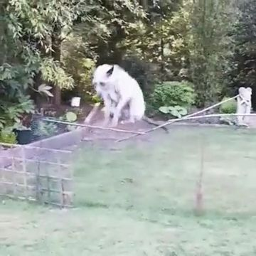 THE WAY THIS DOG JUMPS IS SO CUTE