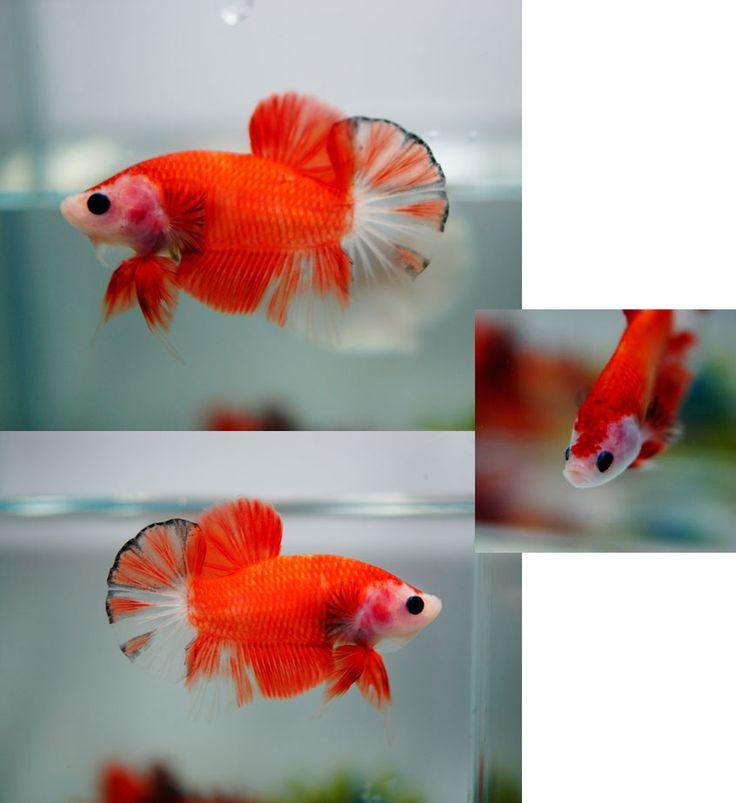 Orange koi betta aquarium pinterest orange auction for Orange koi fish