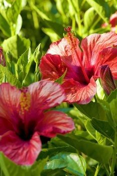 Hibiscus Plant Care - To make sure that you get bright showy hibiscus year after year, here are a few handy hibiscus plant care tips.