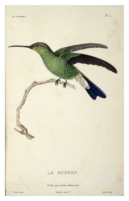 021-Les Trochilidées ou les Colibris et les Oiseaux-Mouches… 1832- René Primevère Lesson