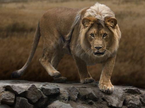.Animal Pics, Big Cat, Animal Kingdom, Beautiful, Photographers Unknown, Lion King, Amazing Animal, Kitty, Awesome Photography