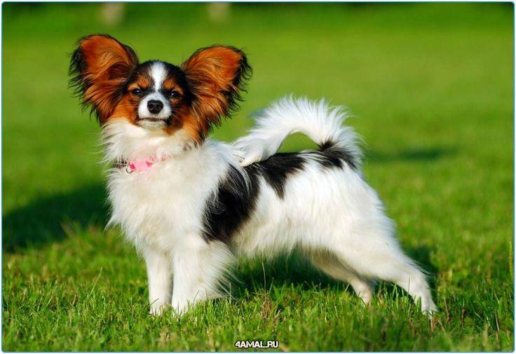 Папильон  #собаки #животные #собака #люблюсобак #россия #москва #серпухов #lovedog #dogs #dog #doggy #russia #animals #animal