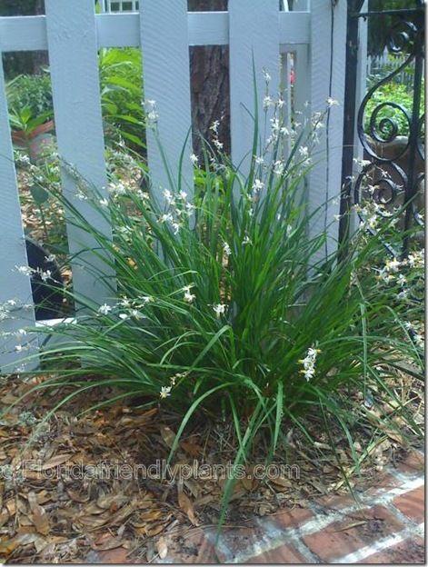 Chlorophytum saundersiae (Anthericum saundersiae) Weeping lily grass