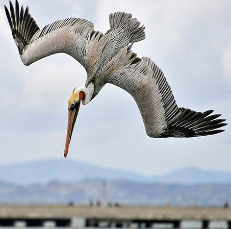 Image result for pelican tattoo